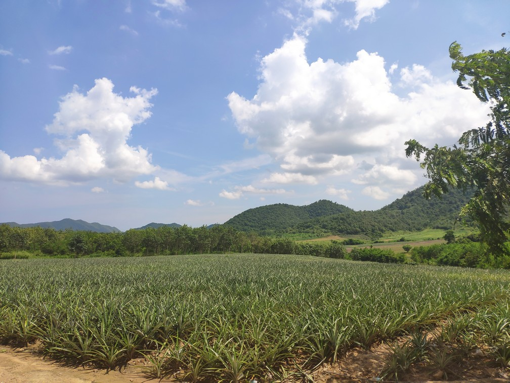 Ananásové pole